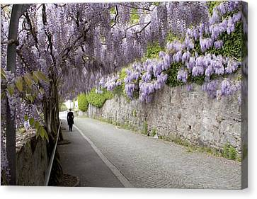Wisteria Lane Canvas Print by Colleen Williams