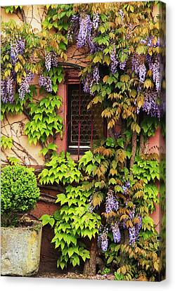Wisteria In Bloom Canvas Print - Wisteria On A Home In Zellenberg France 3 by Greg Matchick