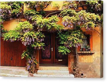 Wisteria In Bloom Canvas Print - Wisteria On Home In Zellenberg France 2 by Greg Matchick