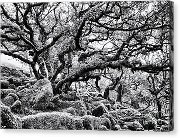 Wistmans Wood  Canvas Print by Tim Gainey