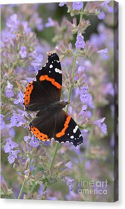 Within Lavender Canvas Print by Tim Good