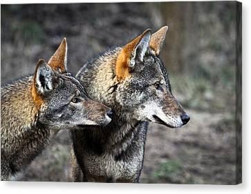 Wolf Alert Canvas Print by Steve McKinzie
