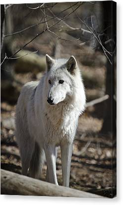 Timber Grey Wolf Canvas Print