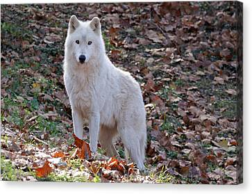 Wolf In Autumn Canvas Print by Sandy Keeton