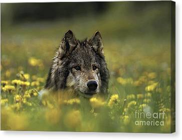 Wolf In Dandelions Canvas Print by Wildlife Fine Art