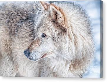 Wolf In Disguise Canvas Print