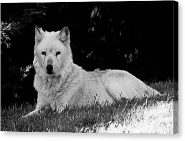 Wolf In The Zoo Canvas Print by Victoria Sheldon