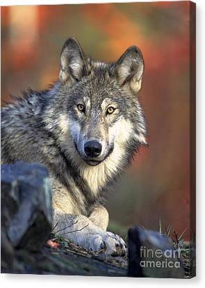 Canvas Print featuring the photograph Wolf Predator Canidae Canis Lupus Hunter by Paul Fearn