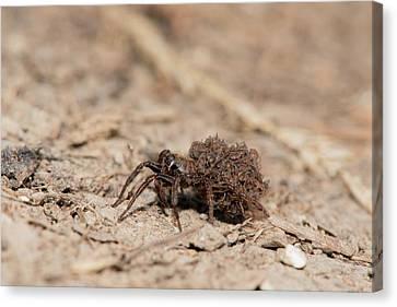 Arachnida Canvas Print - Wolf Spider Carrying Spiderlings by Dr. John Brackenbury