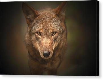 Wolf Stare Canvas Print by Karol Livote