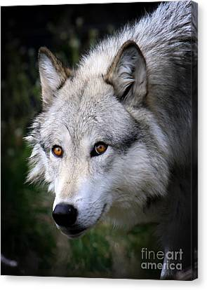Canvas Print featuring the photograph Wolf Stare by Steve McKinzie