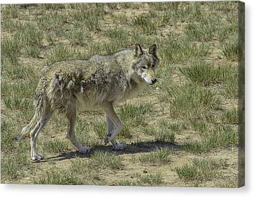 Wolf Canvas Print by Tom Wilbert