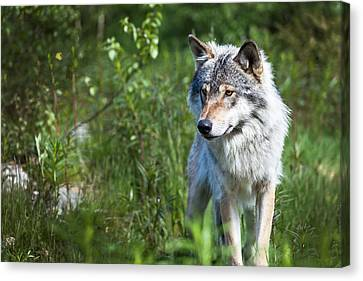 Canvas Print featuring the photograph Wolf by Yngve Alexandersson