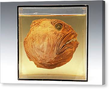 Wolffish Head Canvas Print by Ucl, Grant Museum Of Zoology