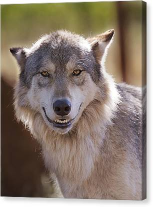 Canvas Print featuring the photograph Wolf's Smile  by Brian Cross