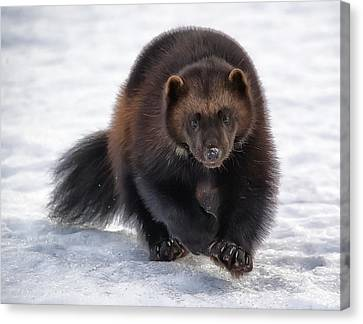 Wolverine On Snow #2 Canvas Print by Wade Aiken