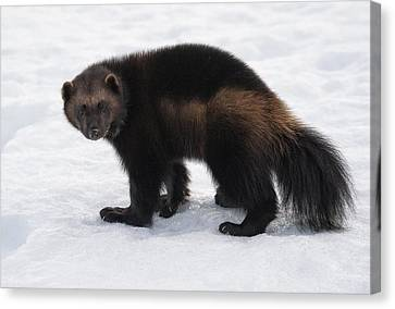 Wolverine On Snow Canvas Print by Wade Aiken