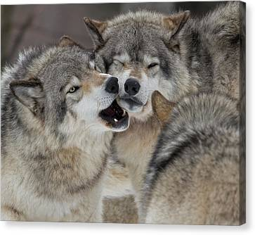 Wolf Canvas Print - Wolves Being Close by Rudy Pohl
