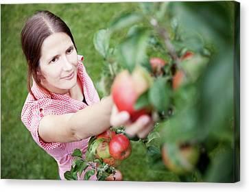 Woman Picking Apples Canvas Print by Thomas Fredberg