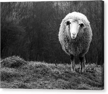 Wondering Sheep Canvas Print by Ajven
