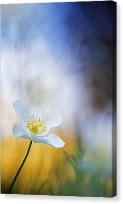 Wood Anemone Flower Switzerland Canvas Print by Heike Odermatt