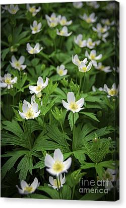 Wood Anemones Canvas Print by Elena Elisseeva