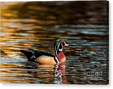 Wood Duck At Morning Canvas Print by Robert Frederick