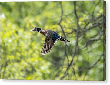 Wood Duck In Flight Canvas Print by Loree Johnson