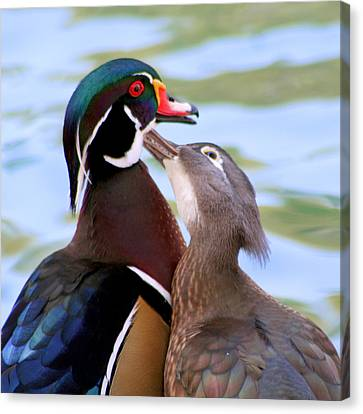 Wood Duck Love Canvas Print by Bob and Jan Shriner