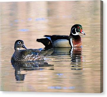 Wood Duck Pair In Kettles Canvas Print