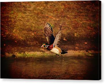 Wood Duck Taking Off Canvas Print by Deborah Benoit