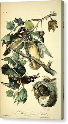 Wood Duck Canvas Print - Wood Ducks by Philip Ralley