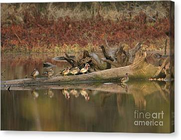 Wood Ducks On Log Canvas Print by Russell Christie
