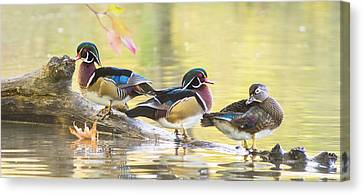 Wood-ducks Panorama Canvas Print by Mircea Costina Photography