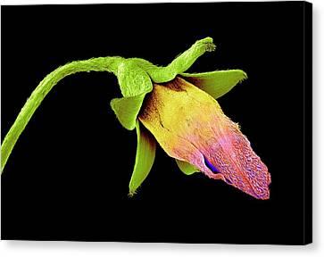Sem Canvas Print - Wood Sorrel Flower Bud by Susumu Nishinaga