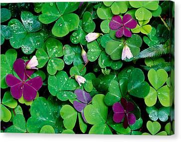 Sorrel Canvas Print - Wood Sorrel Plants Oxalis Oregana by Panoramic Images