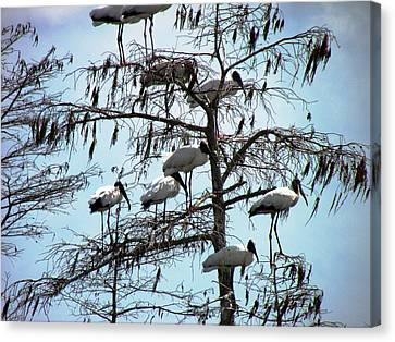 Wood Storks Canvas Print by Will Boutin Photos