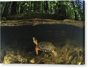 Wood Turtle Swimming North America Canvas Print by Pete Oxford