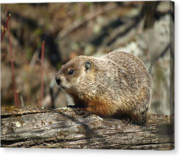 Canvas Print featuring the photograph Woodchuck by James Peterson