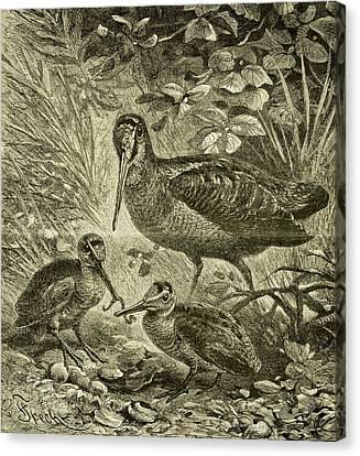 Woodcock Austria 1891 Canvas Print by Austrian School