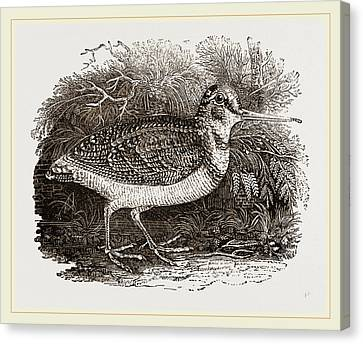 Woodcock Canvas Print by Litz Collection