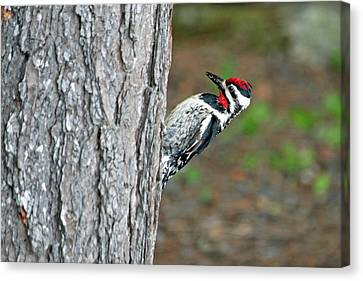 Canvas Print featuring the photograph Woodpecker by Barbara West