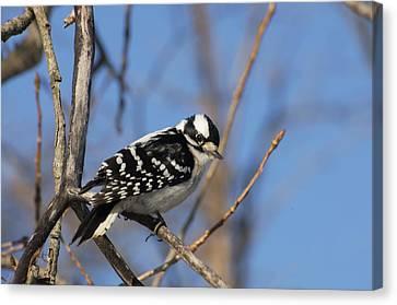 Woodpecker Canvas Print by Cheryl Cencich