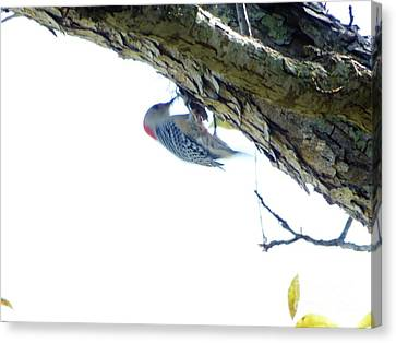 Woodpecker In A Tree Canvas Print by Marie Bulger