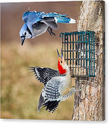 Bluejay Canvas Print - Woodpeckers And Blue Jays Square by Bill Wakeley