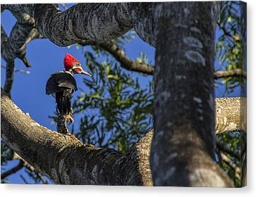 Woody Woodpecker Canvas Print by David Gleeson