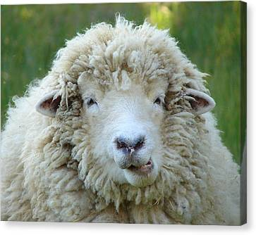 Canvas Print featuring the photograph Wooly Sheep by Ramona Johnston