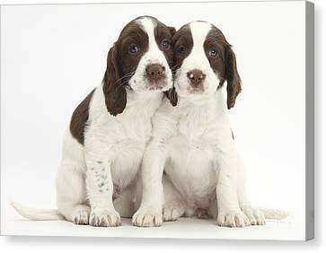 Working English Springer Spaniel Puppies Canvas Print