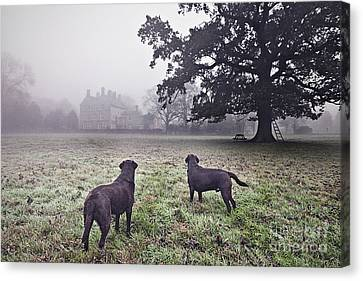 Working Labradors In Field Canvas Print by Justin Paget
