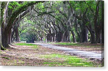 Wormsloe Drive 2 Canvas Print by D Wallace
